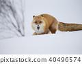 北狐 40496574
