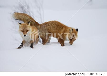 虾夷红狐狸 狐狸 冬天 40496575