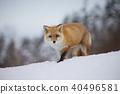 北狐 40496581