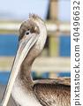 California Brown Pelican 40496632