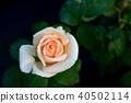 Flower 40502114