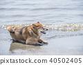 Shiba shiba-inu dog 40502405