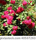 กุหลาบ,ดอกไม้,ไม้ 40507263
