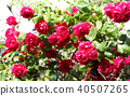 A red rose 40507265