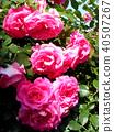 กุหลาบ,ดอกไม้,ไม้ 40507267