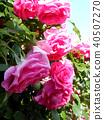กุหลาบ,ดอกไม้,ไม้ 40507270