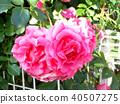 กุหลาบ,ดอกไม้,ไม้ 40507275