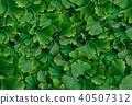 Ginkgo Biloba Background 40507312