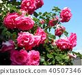 粉红色的大麦玫瑰 40507346