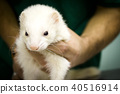 Profile of a ferret 40516914