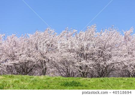 ต้นเชอร์รี่และทุ่งหญ้า 40518694
