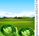 Organic Cabbage with Beautiful Scenery 40524574