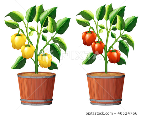Yellow and Red Bell Pepper Plant 40524766