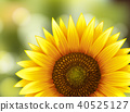 Beautiful Sunflower on Nature Background 40525127
