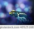 Poison Dart Frog on Blue Background 40525168