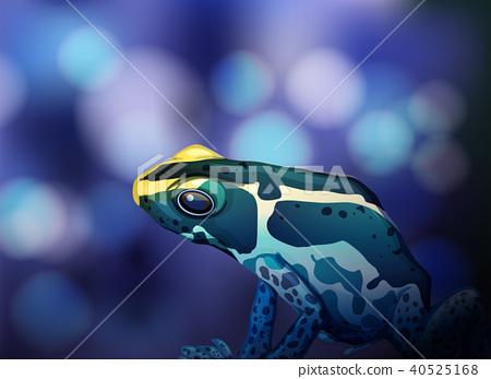 Poison Dart Frog on Blue Background 40525168