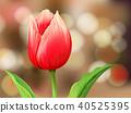 Tulip Flower on Blur Background 40525395