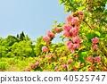 weigela hortensis, deutzia crenata, flower 40525747