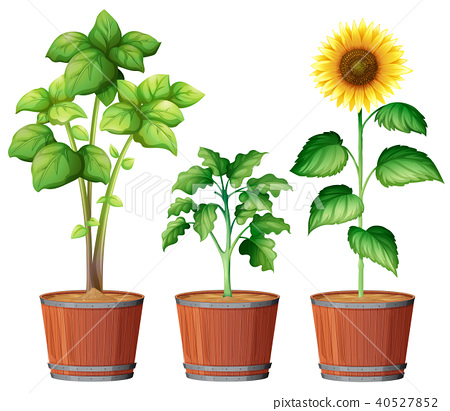 Sunflower Planting in the Pot 40527852