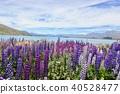 꽃, 플라워, 라벤더 40528477