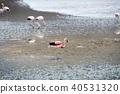 Laguna Canyapa的火烈鳥 40531320