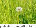 dandelion, blowball, fluffy 40531415