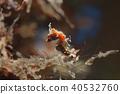 豆丁海馬 海馬 水下照片 40532760