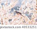 만개 한 벚꽃과 직박구리 40533251
