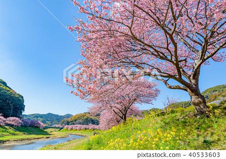 키와즈 벚꽃, 유채, 평지꽃 40533603