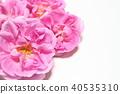 玫瑰 玫瑰花 粉红 40535310