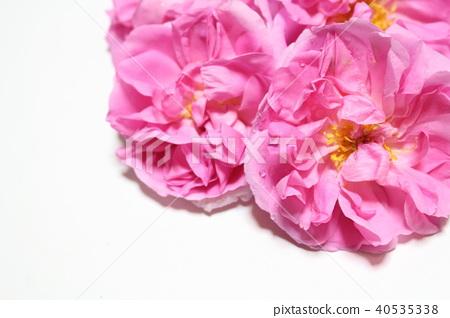 大馬士革玫瑰 40535338