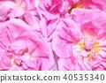 玫瑰 玫瑰花 芳香 40535340