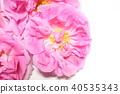 玫瑰 玫瑰花 粉红 40535343