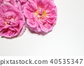 玫瑰 玫瑰花 芳香 40535347