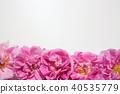 玫瑰 玫瑰花 芳香 40535779