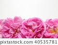 玫瑰 玫瑰花 芳香 40535781