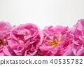玫瑰 玫瑰花 芳香 40535782