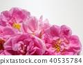 玫瑰 玫瑰花 芳香 40535784