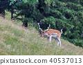 fallow deer in grass. Parc de Merlet, France 40537013