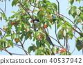 在櫻桃樹上的喜鵲 40537942
