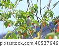 조류, 새, 열매 40537949