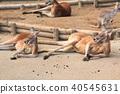 袋鼠 動物 哺乳動物 40545631