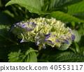 繡球花 花朵 花 40553117