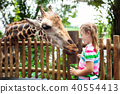 Kids feed giraffe at zoo. Children at safari park. 40554413