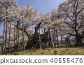 벚꽃, 만개, 활짝 핌 40555476