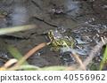 动物 青蛙 黑色斑点蛙 40556962