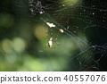 蜘蛛 网 横纹金蛛 40557076