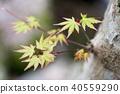 단풍, 잎, 이파리 40559290