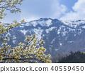 산 벚나무와 잔설 氷노山 40559450