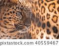 고양이과, 동물, 클로즈업 40559467